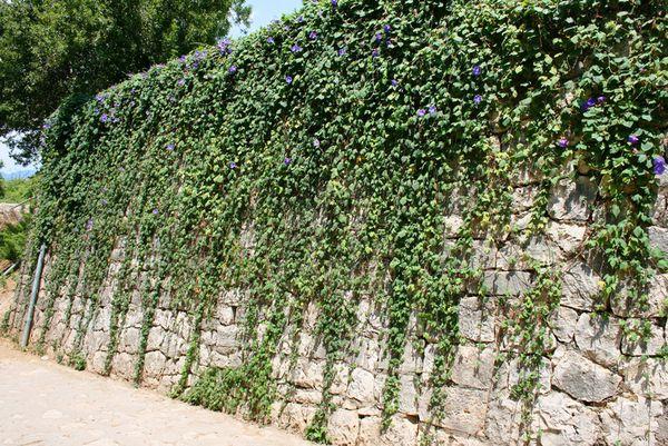 kúszónövény, kertépítés Budapest, kertöntöző Budapest, kerttervezés Budapest